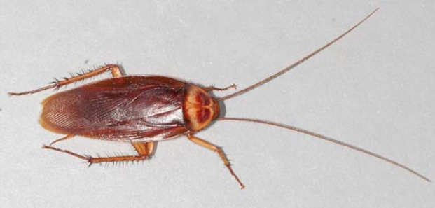 American cockroach on ground