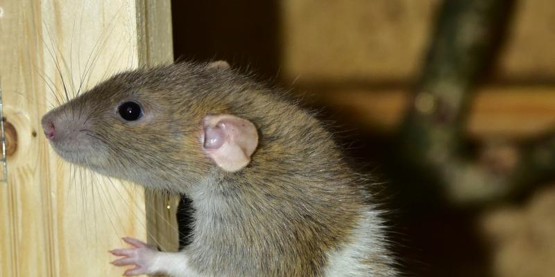 brown rat in home