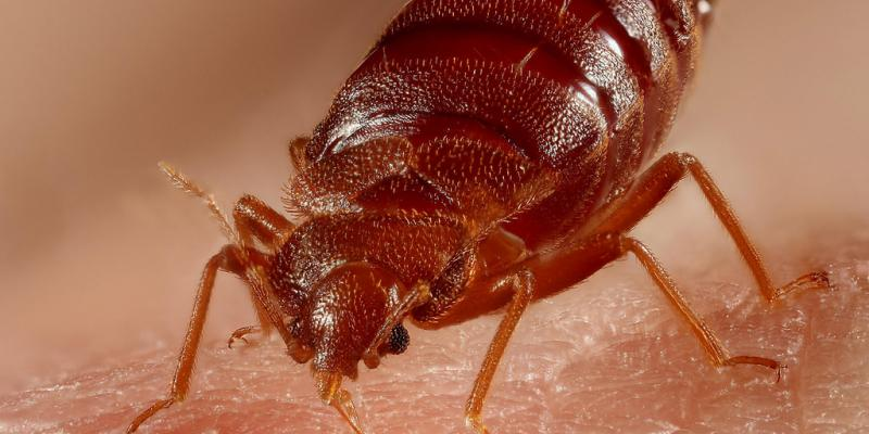 Traveling for the holidays bed bugs like to travel too getem if youre planning to hit the road this holiday season watch out for a major pest that can be easy to avoid but tough to get rid of bed bugs ccuart Gallery