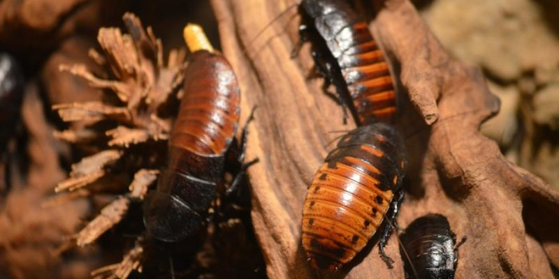 Cockroaches, Common Household Pests