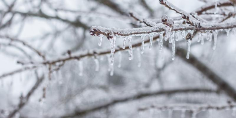 ice sickles on branches