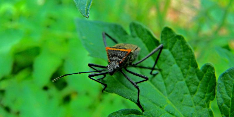 Kissing Bugs on a leaf