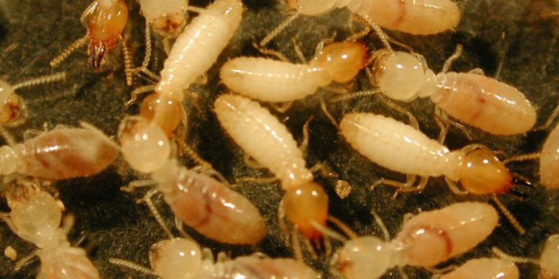 termites under a house