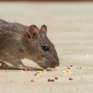 Rodent eating crumbs off floor - rodent control in Virginia