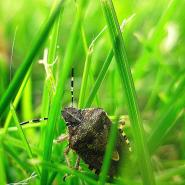 a stink bug in the grass