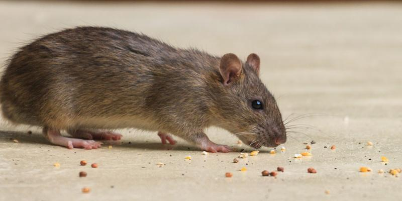 Rodent Control in Virginia | 100% Guarantee | Getem Services
